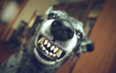 歯を剥きだす犬の顔アップ