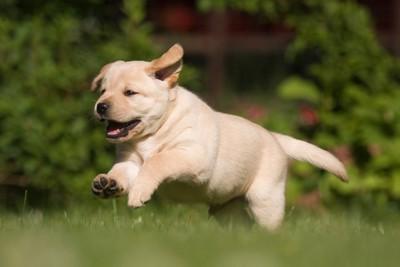 走るラブラドールの子犬