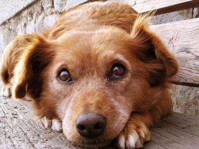 伏せをしている茶色の犬
