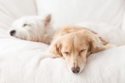 白いベットで一緒に眠るテリアとダックスフンド