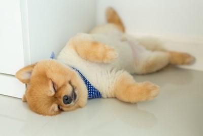 脚を開いて寝ているポメラニアン