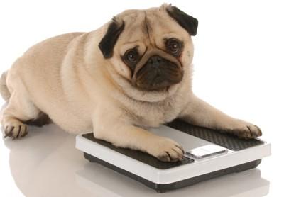 納豆ダイエットに挑戦中の犬
