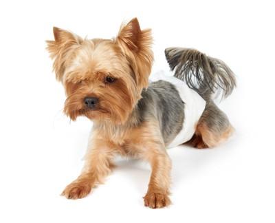 オムツをしている犬