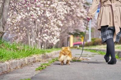 桜の咲く道を散歩する飼い主と犬の後ろ姿