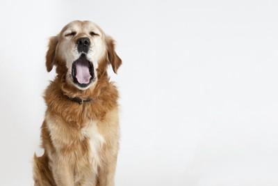 目を閉じてあくびをする犬