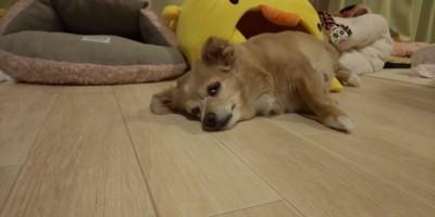 床で寝る寸前の犬