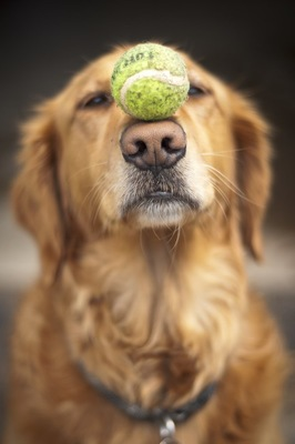 ボールを鼻にのせている犬