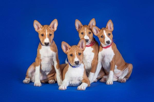 バセンジーの子犬4匹