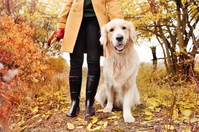紅葉の中を飼い主と散歩するゴールデンレトリバー