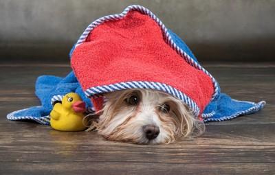 タオルを被る犬