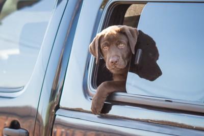 車窓から顔を出すラブラドールの子犬