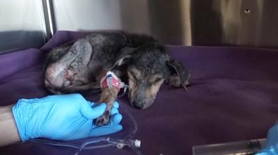 病院で輸血後の子犬