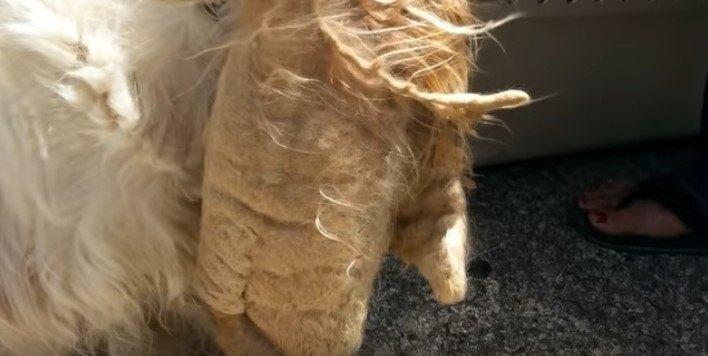 フェルト状に垂れ下がる毛