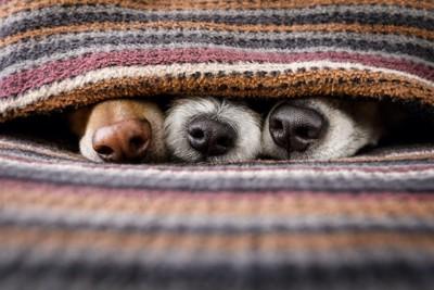 ブランケットから鼻を出す3匹の犬