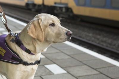 盲導犬のゴールデンレトリバーの横顔