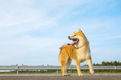 うすい雲の多い青空と柴犬