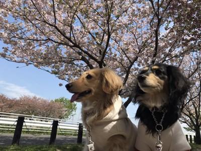 桜とダックス2匹
