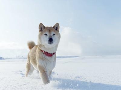 雪の中を歩く柴犬