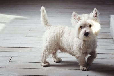 片足を上げて歩いている白い犬