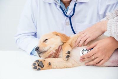 病院の診察台の上で聴診器をあてられている子犬