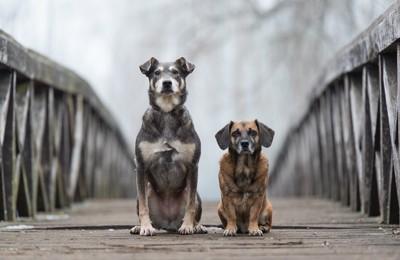 橋の上の犬2匹