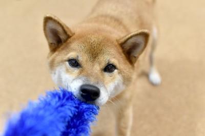 青いおもちゃを引っ張る犬