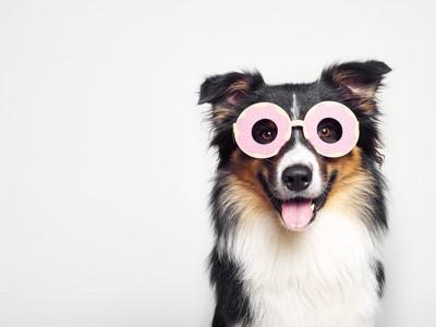 ドーナツのサングラスをする犬