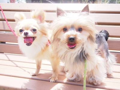 ベンチ 2頭の犬 チワワヨーキー 笑顔