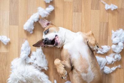 床を散らかしてお腹を見せて口を開ける犬