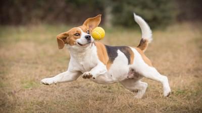 ボールを取るのに必死な犬