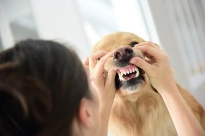 歯肉のチェックをされる犬