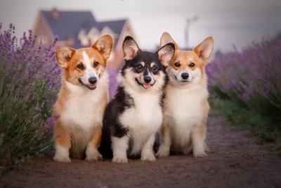 ラベンダー畑の子犬たち