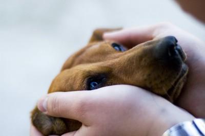 飼い主の手に顔を包まれている犬