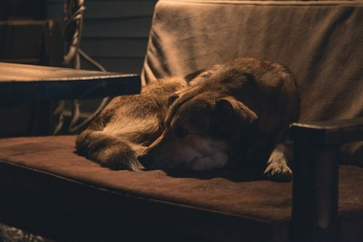 薄暗い中、椅子で丸くなる犬