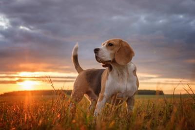 夕日の中で尻尾を立てる凛々しい犬