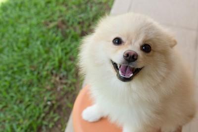 芝生の上で笑顔の白いポメラニアン