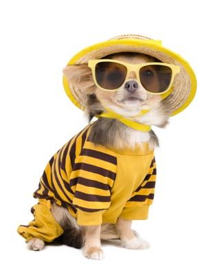 黄色いファッションのチワワ