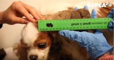 固まった耳の毛を測る