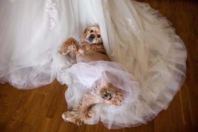 ウエディングドレスにくるまる犬