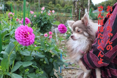 フィーユとダリアのお花