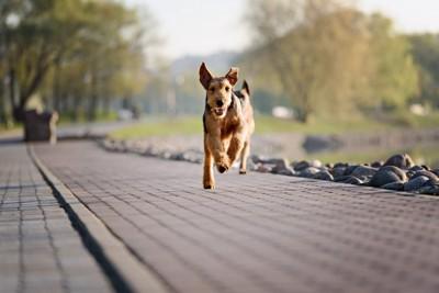 走ってくる犬
