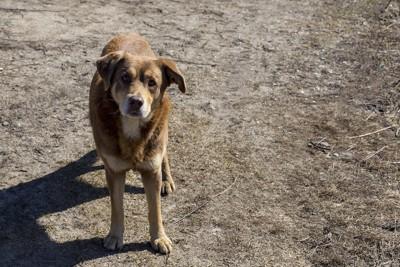 悲しげな表情でこちらを見ている野犬