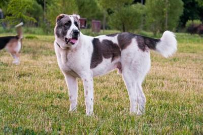 草の上に立つアラバイ犬