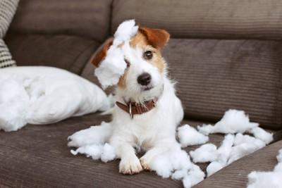 クッションをボロボロにする犬