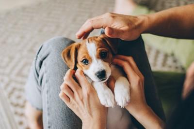 膝の上で仰向けになる子犬