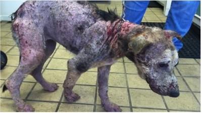酷い皮膚病にかかった犬