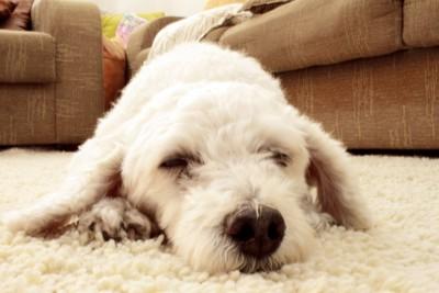 カーペットの上の犬