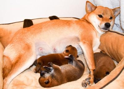 授乳中の母犬