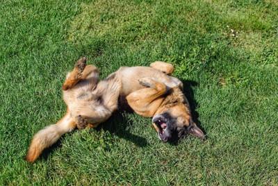 芝生に仰向けで転がる犬
