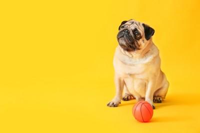 小さいサイズのバスケットボールとパグ